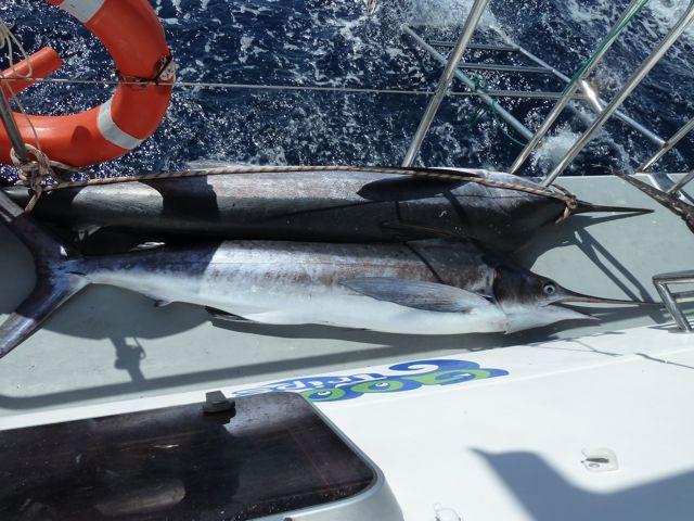 De grootste was 2.40 meter, zelf de schipper was trots op deze vis, de grootste die hij dit seizoen gevangen heeft