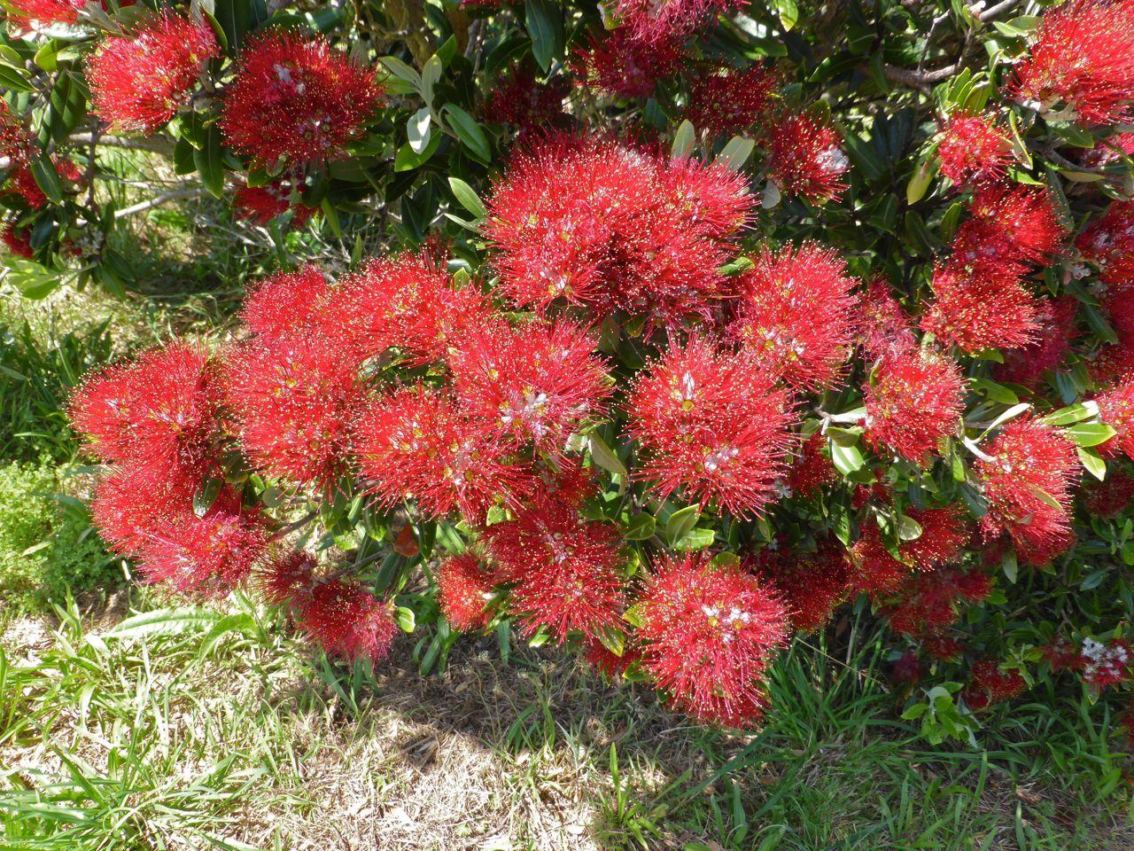 Potutukawa's, de kerstboom van NZ