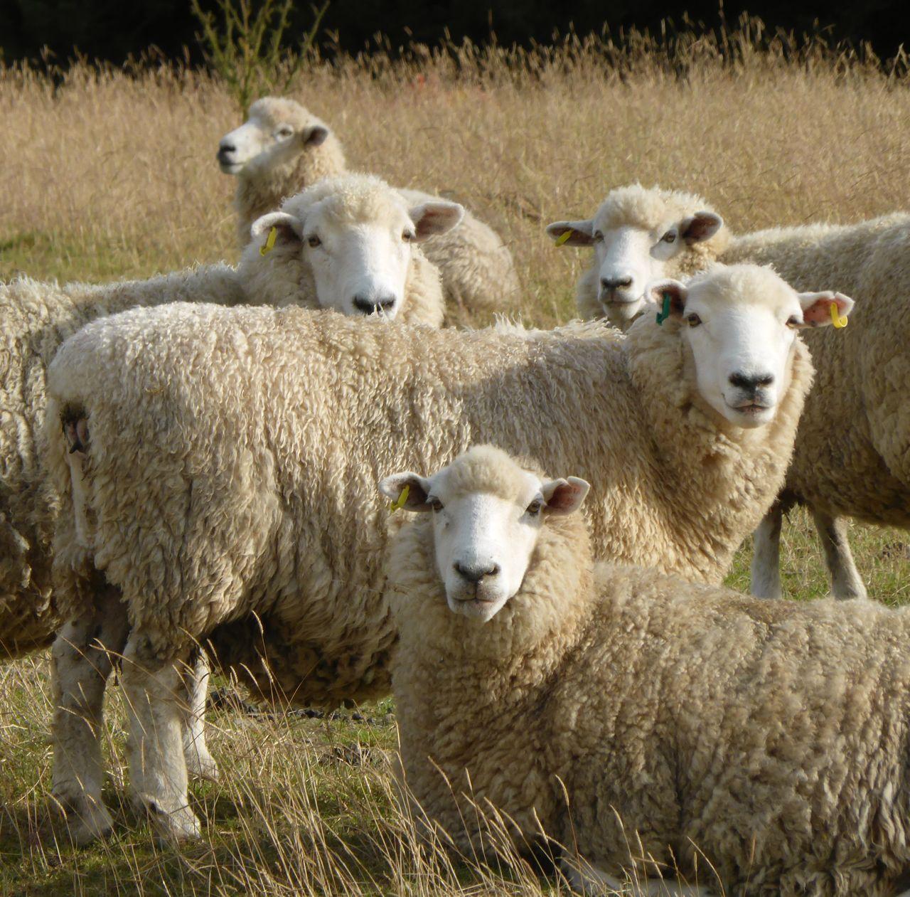 De schapen in de Catlins