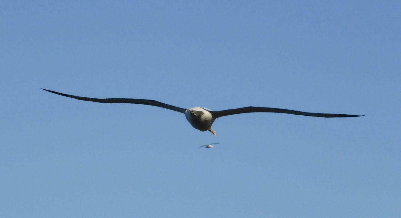 Albatrossen in de lucht
