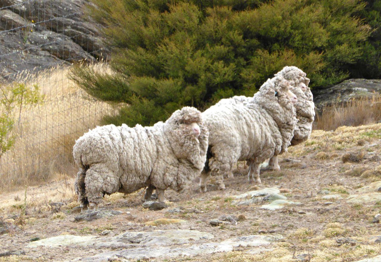 Merinowol schapen