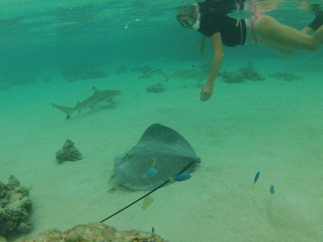 Snorkelend boven een stingray