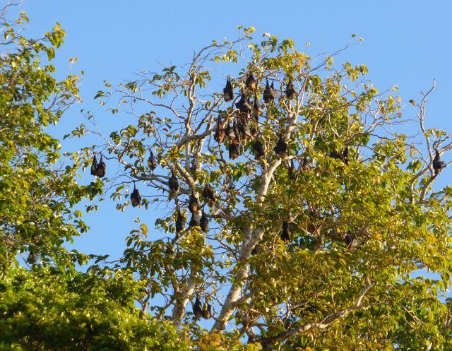 Fruitsbats hangen in de bomen
